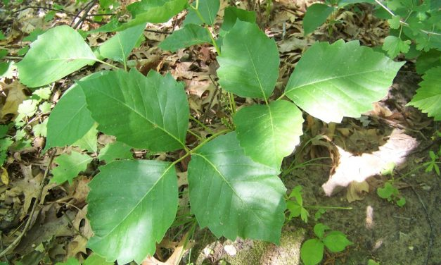 Identifying & Treating the Symptoms of Poison Ivy