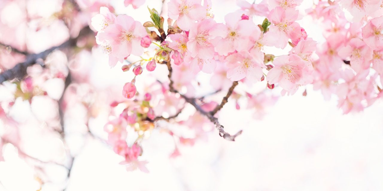 Cherry Blossom Symbolism And How To Incorporate Them Into Your Next